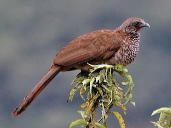 brown, plump bird sitting on the top of a branch