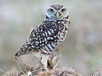 small brown and white owl standing on small hill, looking directly at the camera