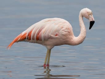 large pink bird standing in water with a long neck and a down-curved beak