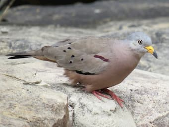 dove on rock with pink hued body, gray back, yellow beak, and a red stripe on the wing