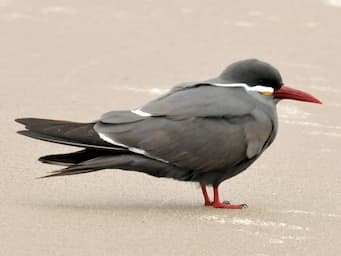 dark gray bird standing on sandy beach with red feet and beak and white accents on body