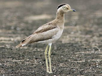 bird with tall yellow legs and a brown body standing in a dirt field