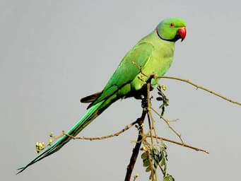 Green parakeet with long tail and red beak