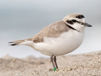 small round bird standing on sand with a white belly and gray back