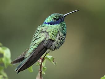 green hummingbird with long wings extending past its body, a long bill and a blue streak across its eye