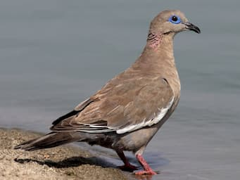 brown dove at water's edge with pink legs, blue eye ring, and white on the edge of its wing