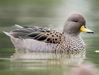duck in water with black and brown body and a yellow bill