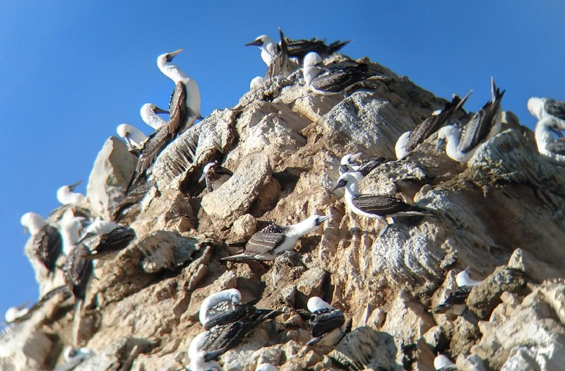 Birds with white bodies and brown wings on top of a rocky hill